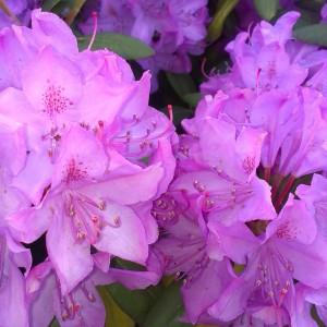 Lilla rhododendron