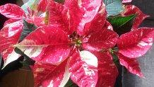 Blomster til højtiderne. Se her hvilke blomster der typisk anvendes ved juletid og få tip om ...