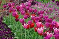 Læg tulipanløg om efteråret i haven