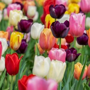 Flotte tulipaner